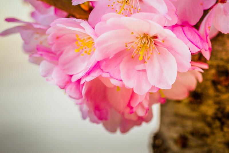 樱花,心灵的净化_图1-9