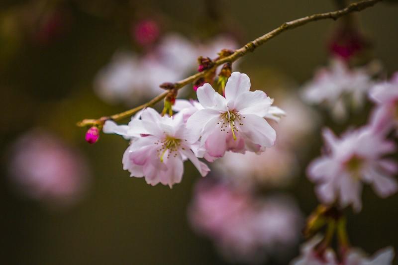 樱花,心灵的净化_图1-3