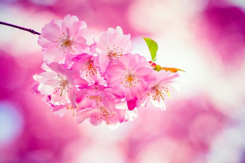 樱花,心灵的净化_图1-11