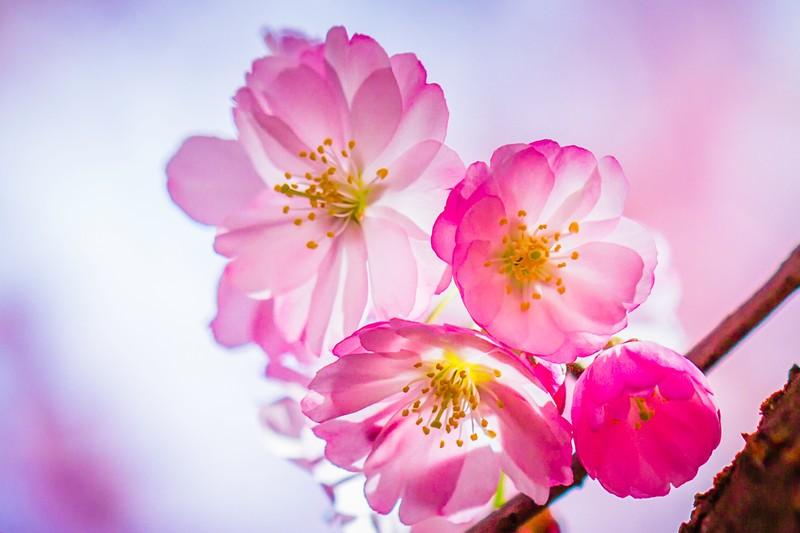 樱花,心灵的净化_图1-12