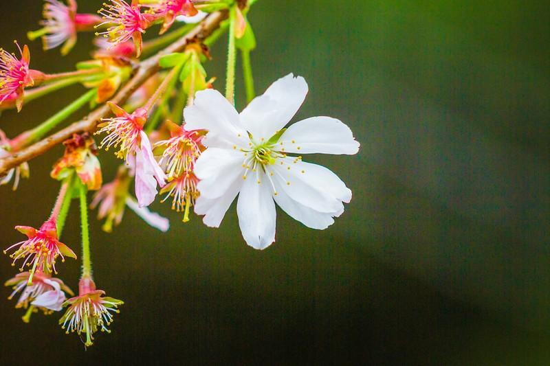樱花,心灵的净化_图1-4
