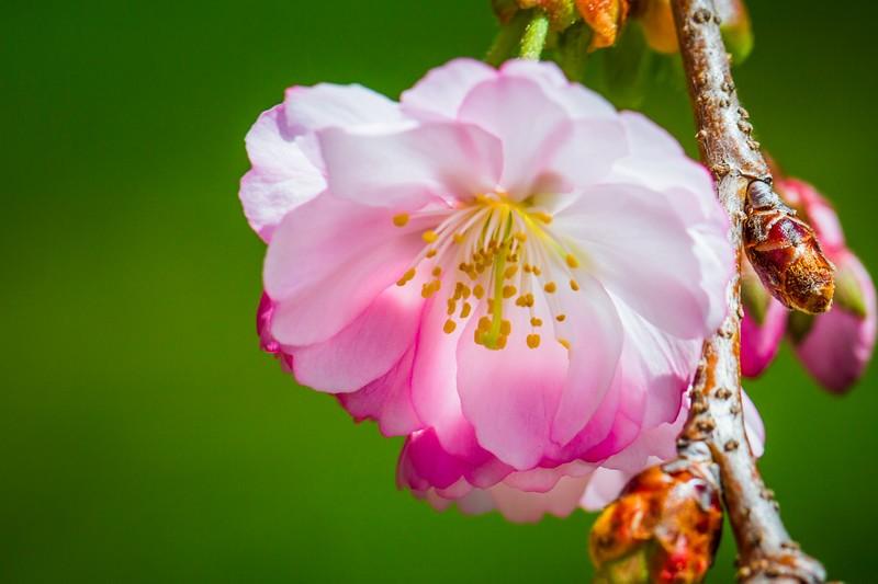 樱花,心灵的净化_图1-10