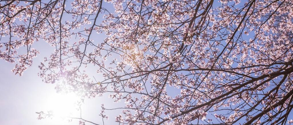 樱花,老树迎春_图1-12