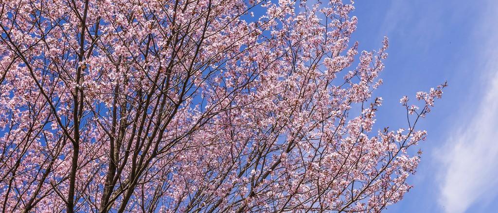 樱花,老树迎春_图1-5
