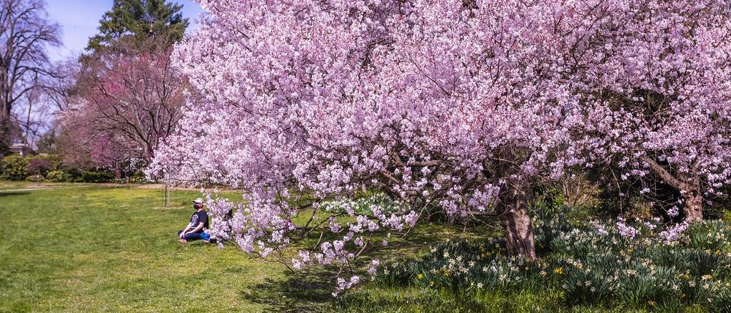 樱花,老树迎春_图1-11