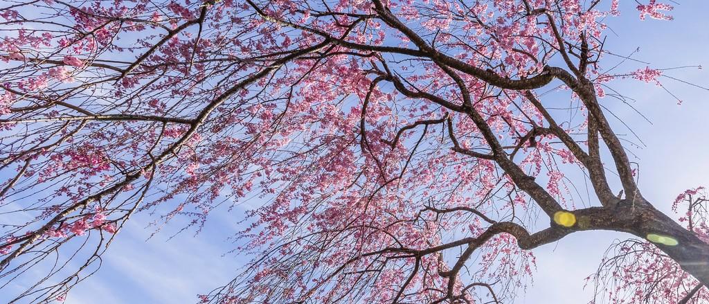樱花,老树迎春_图1-8