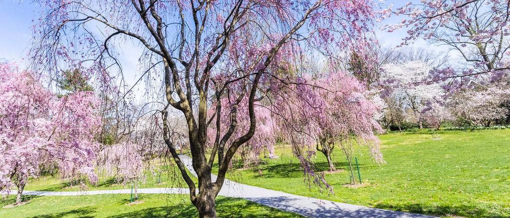 樱花,老树迎春_图1-4