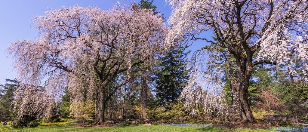 樱花,老树迎春_图1-6