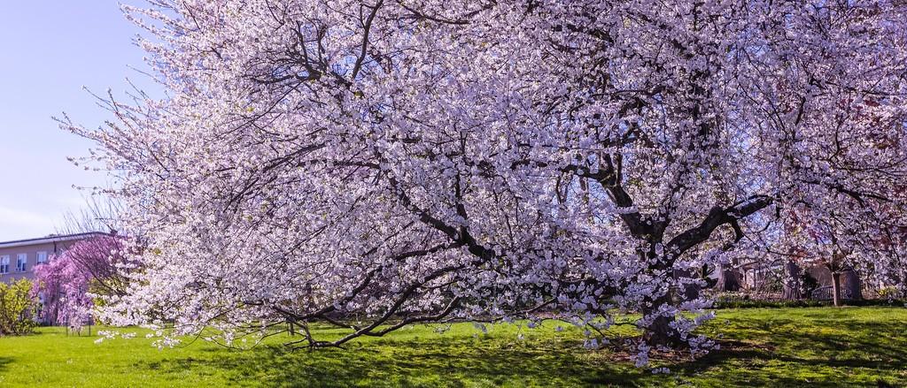 樱花,老树迎春_图1-3