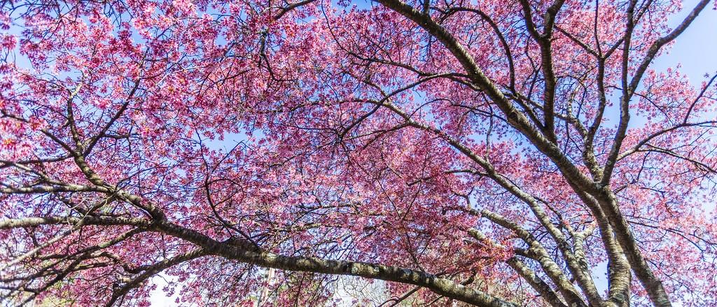 樱花,老树迎春_图1-13