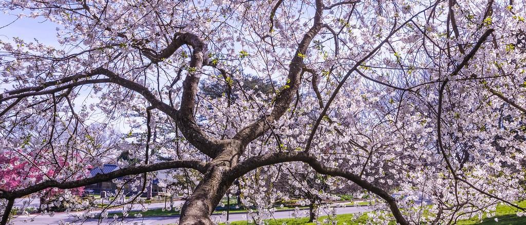 樱花,老树迎春_图1-2