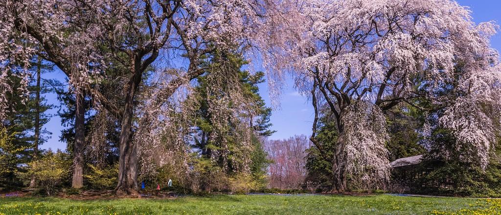 樱花,老树迎春_图1-14