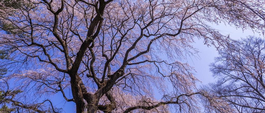 樱花,老树迎春_图1-15