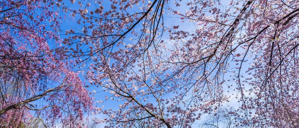 樱花,老树迎春_图1-16