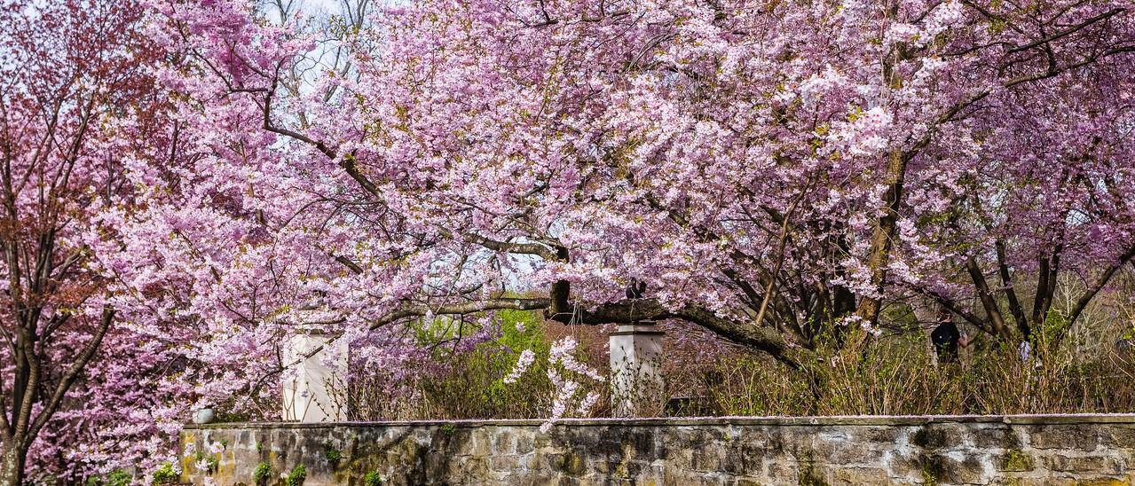 Chanticleer花园,樱花怒放_图1-11