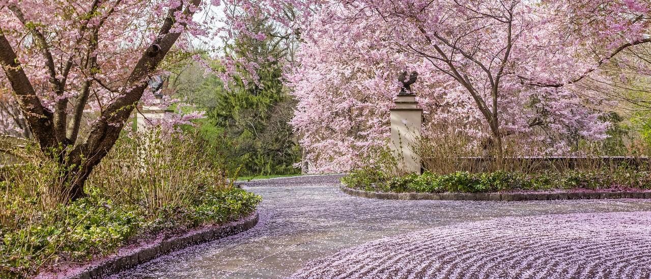 Chanticleer花园,樱花怒放_图1-7