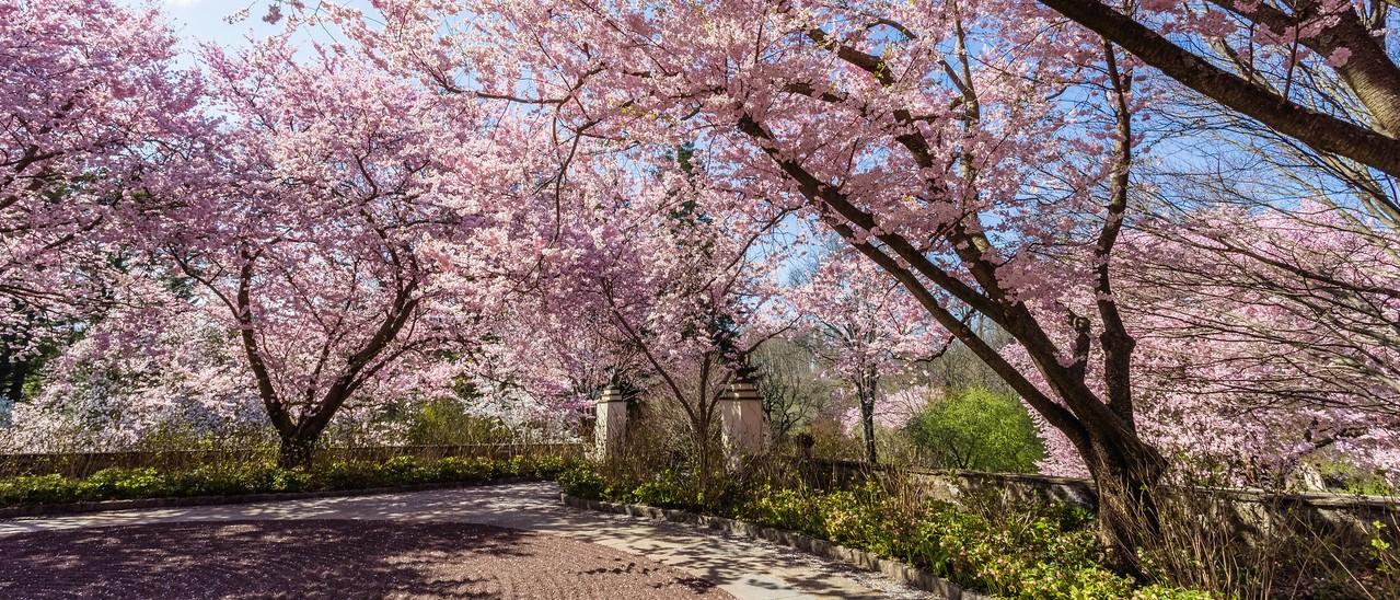 Chanticleer花园,樱花怒放_图1-3
