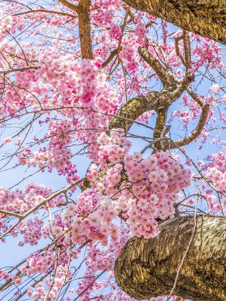 樱花,纯洁谦卑_图1-2