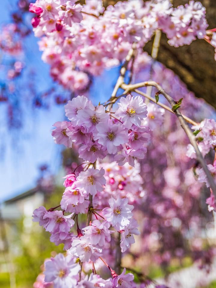 樱花,纯洁谦卑_图1-7