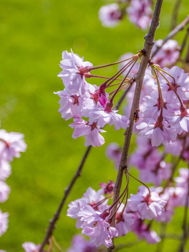 樱花,纯洁谦卑_图1-5