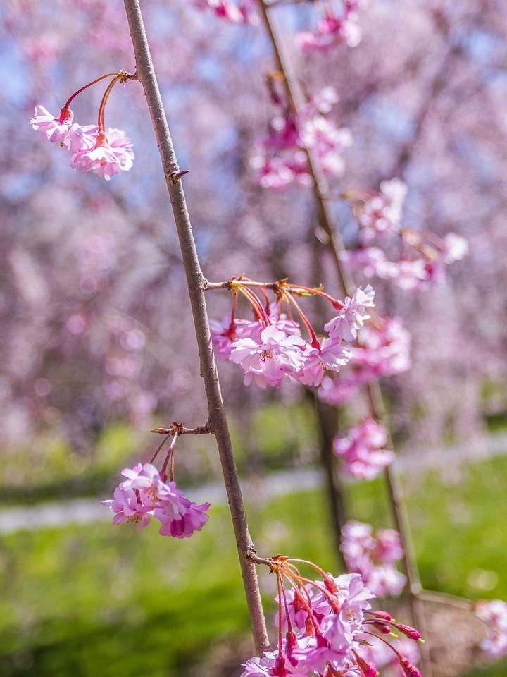 樱花,纯洁谦卑_图1-4