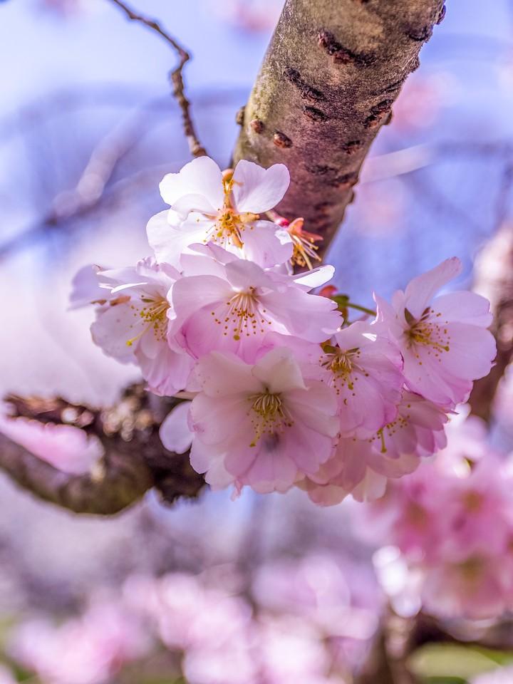 樱花,纯洁谦卑_图1-3
