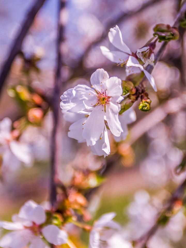 樱花,纯洁谦卑_图1-6