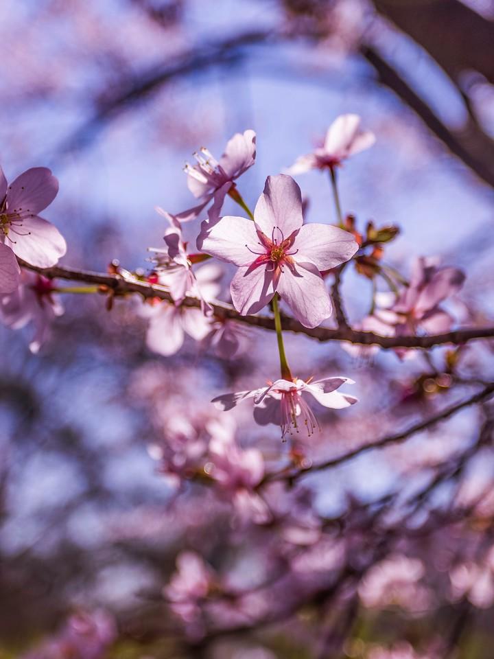 樱花,纯洁谦卑_图1-1