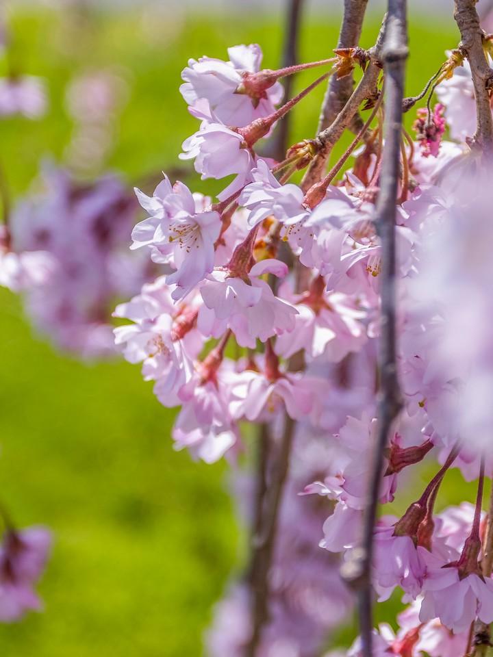 樱花,纯洁谦卑_图1-9