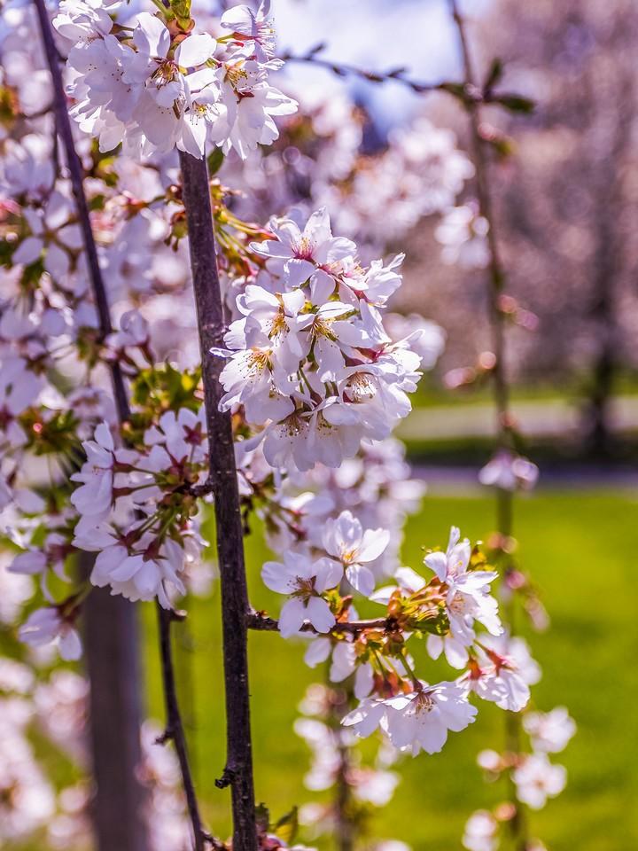 樱花,纯洁谦卑_图1-11