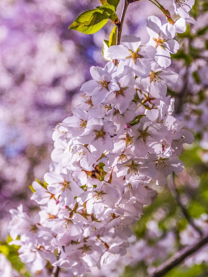 樱花,纯洁谦卑_图1-10