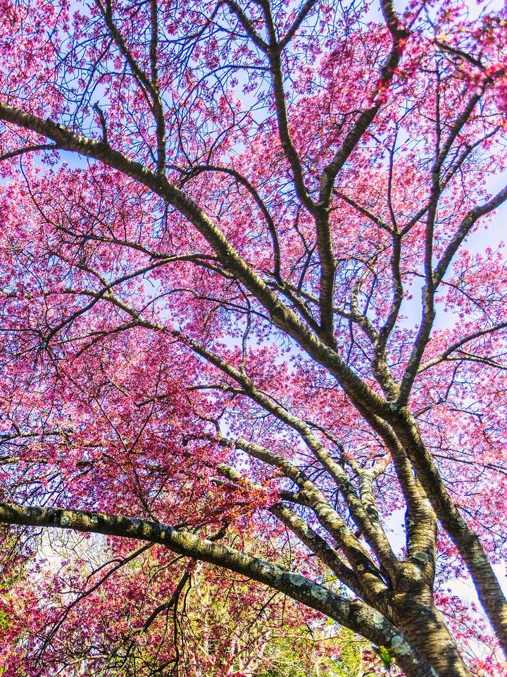 樱花,大树开小花_图1-20