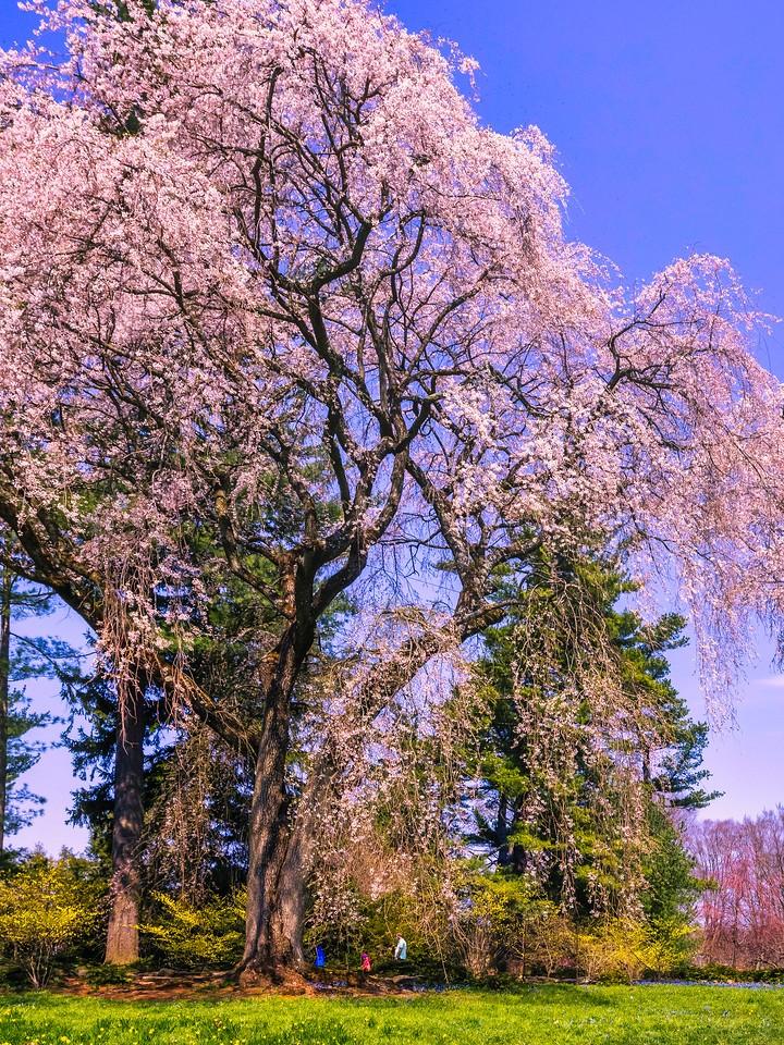 樱花,大树开小花_图1-19