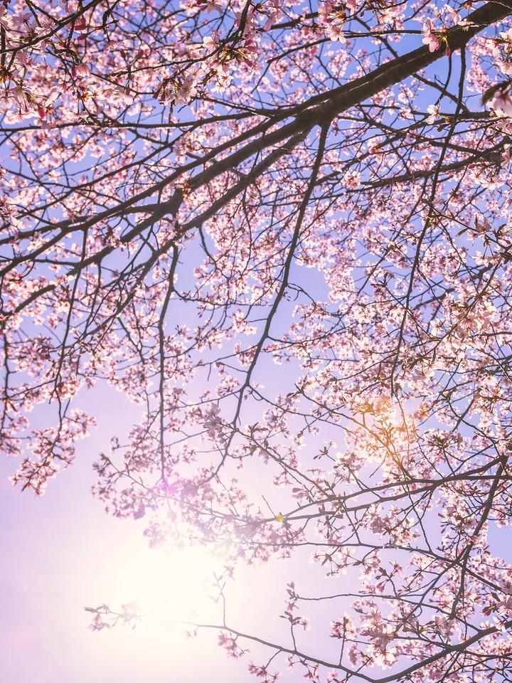 樱花,大树开小花_图1-18