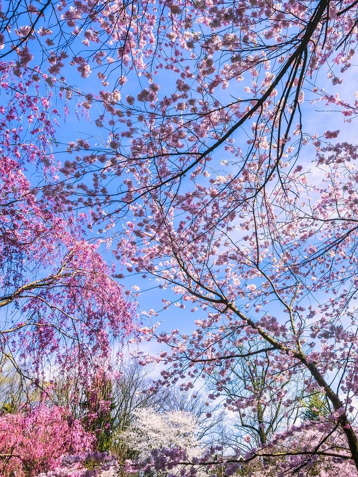 樱花,大树开小花_图1-17