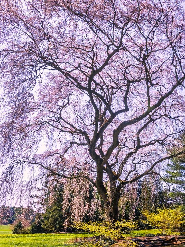 樱花,大树开小花_图1-16