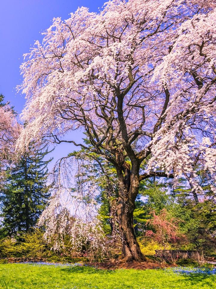 樱花,大树开小花_图1-3