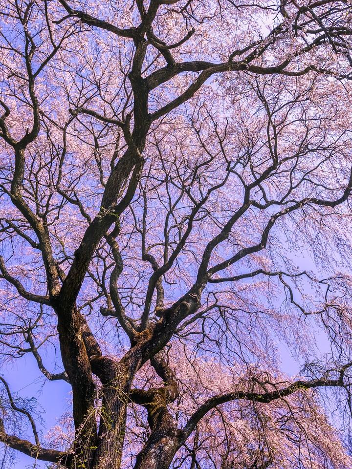 樱花,大树开小花_图1-15