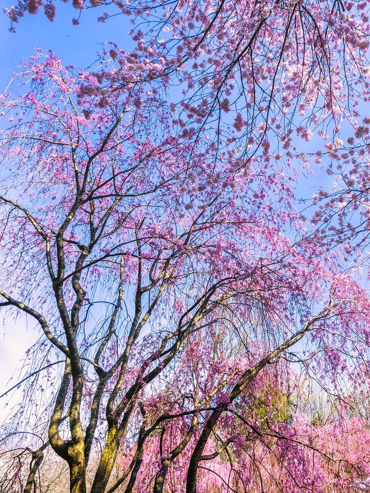 樱花,大树开小花_图1-14