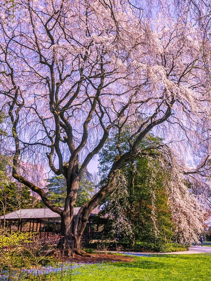 樱花,大树开小花_图1-13