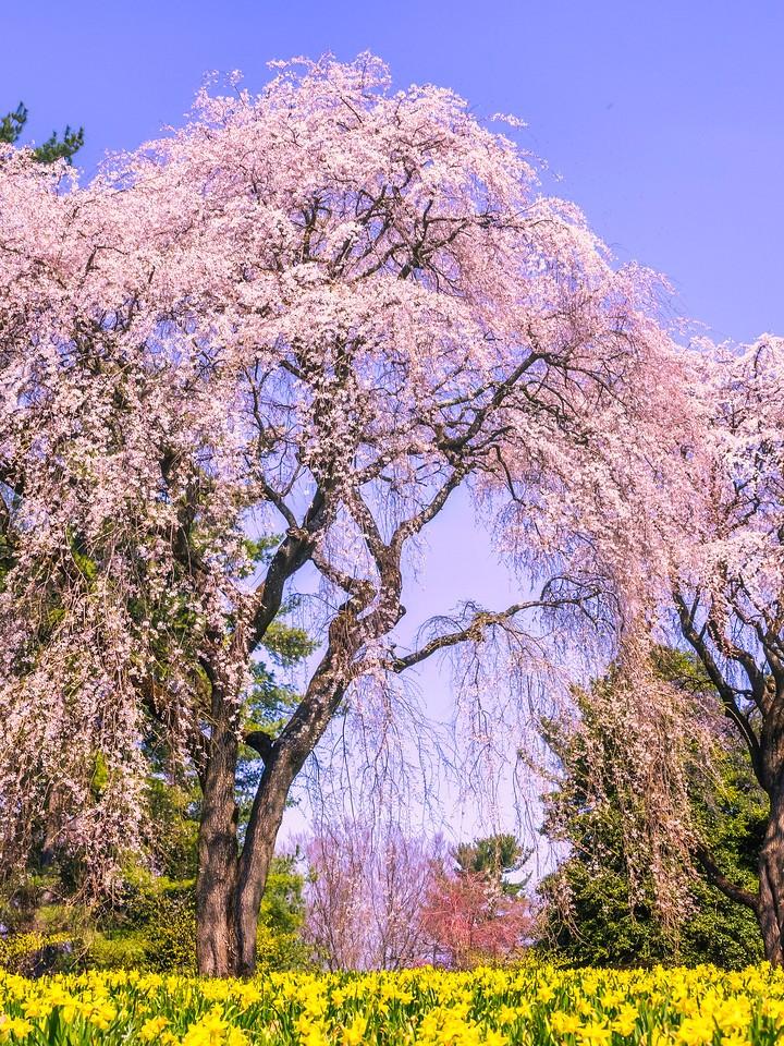樱花,大树开小花_图1-4