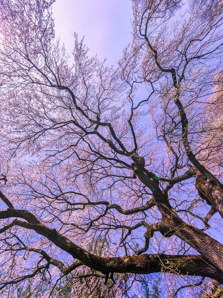樱花,大树开小花_图1-5