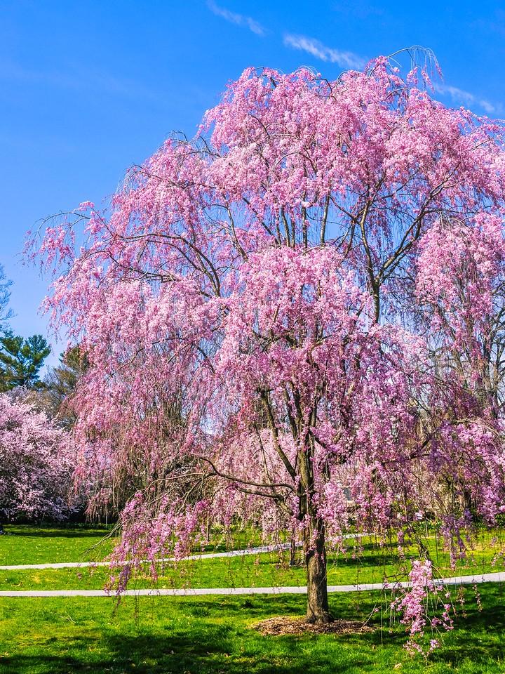 樱花,大树开小花_图1-6