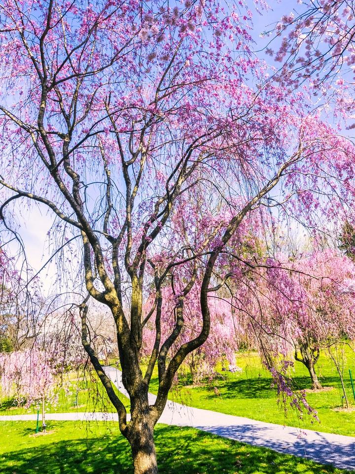 樱花,大树开小花_图1-7
