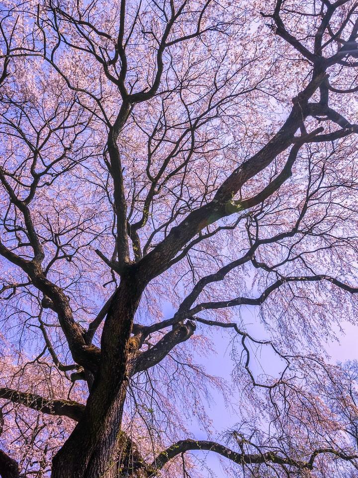 樱花,大树开小花_图1-8