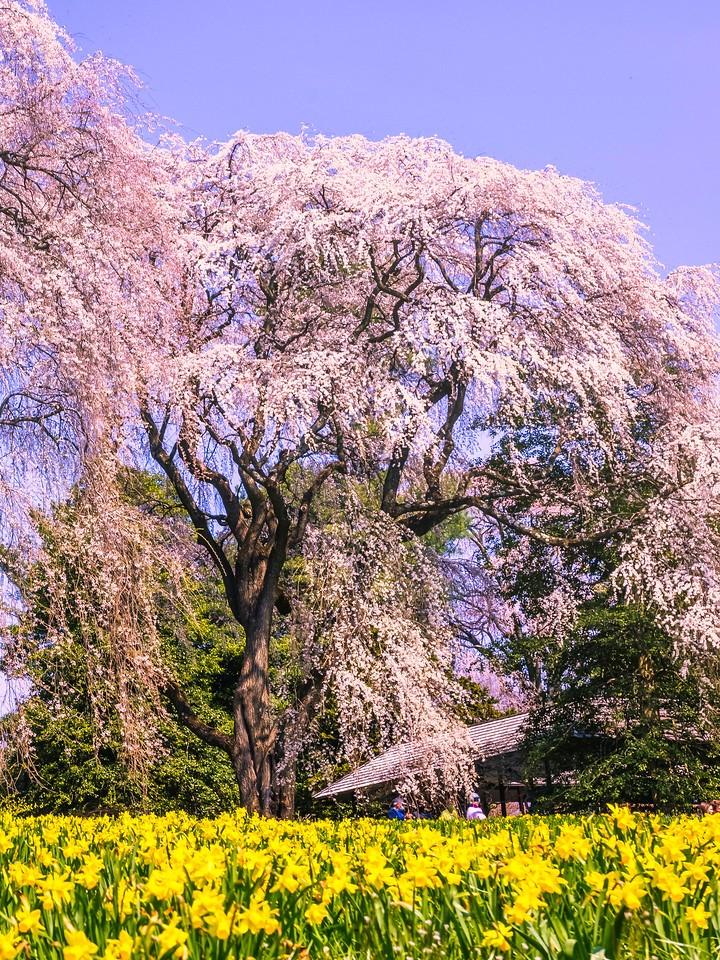 樱花,大树开小花_图1-12