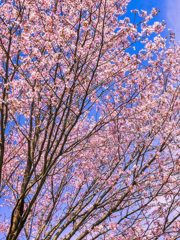 樱花,大树开小花_图1-11