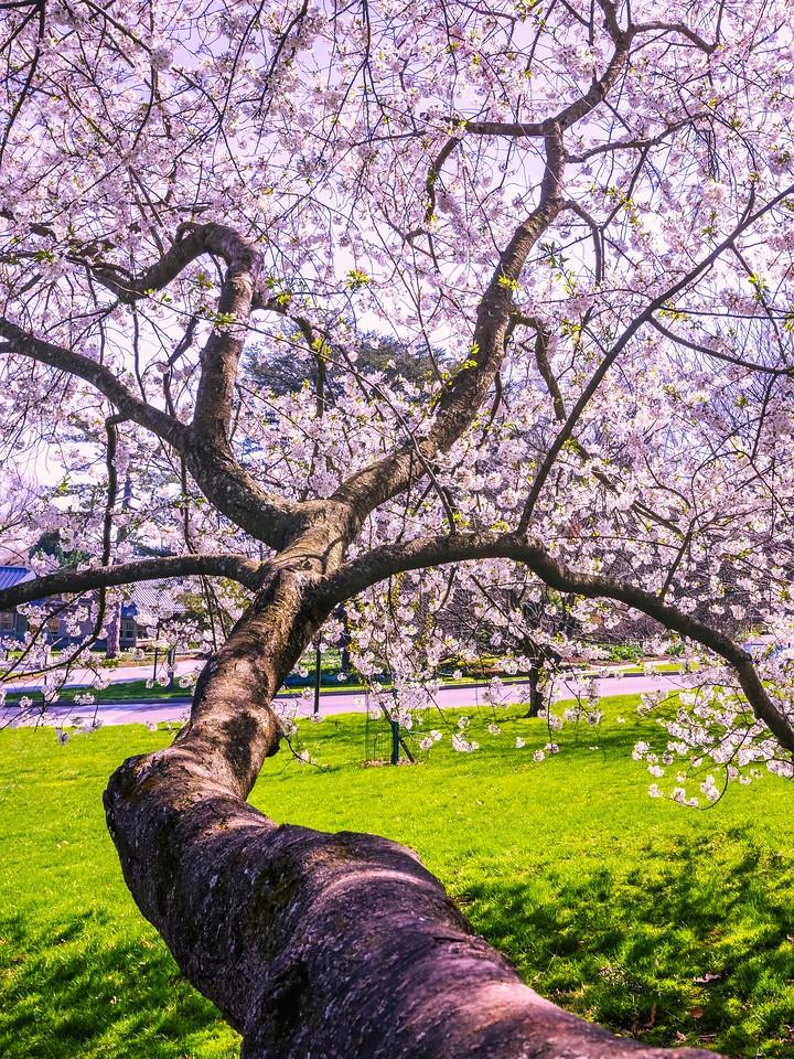 樱花,大树开小花_图1-10