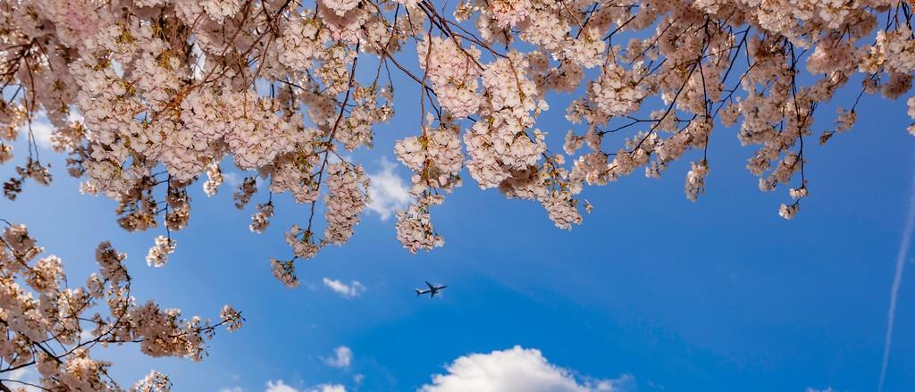 华盛顿樱花节,盛开的季节_图1-9