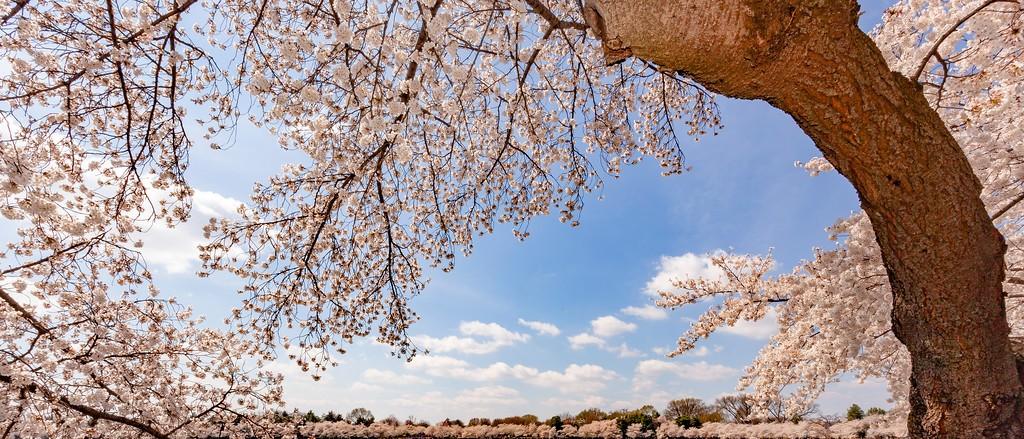 华盛顿樱花节,盛开的季节_图1-5